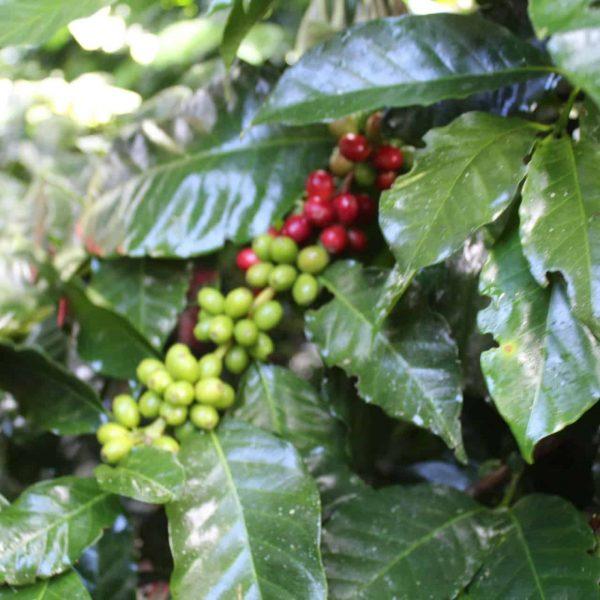 Colombia Buesaco cafe con altura 2