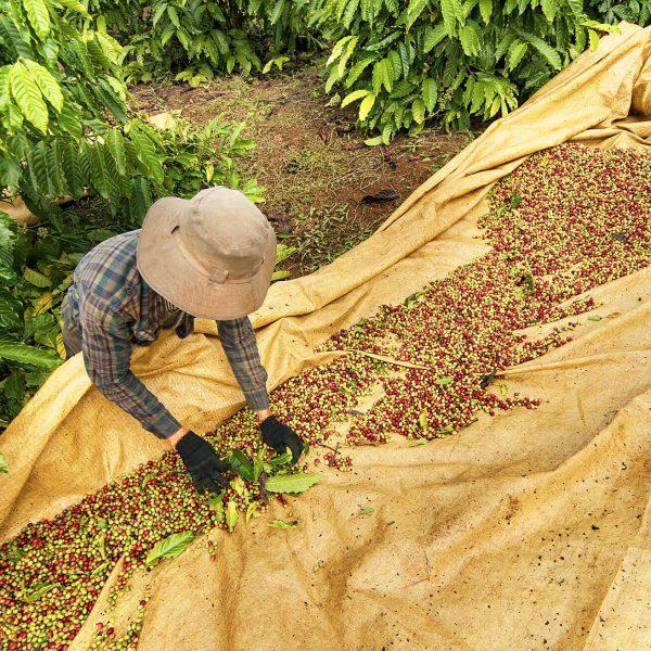 farmer-collecting-coffee1